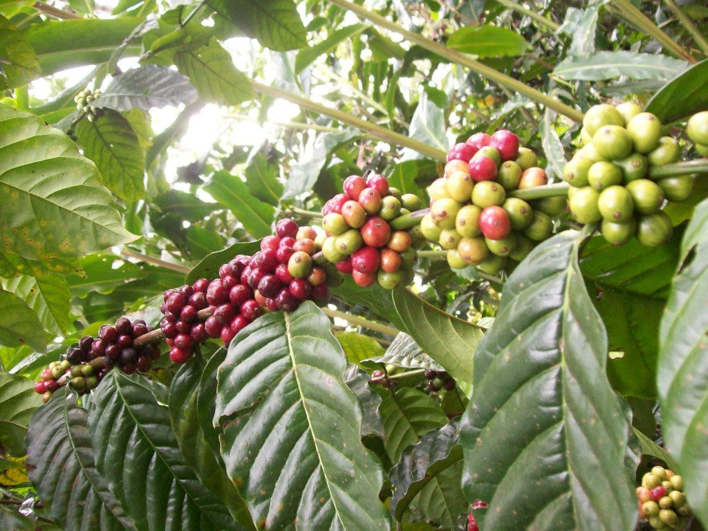 Balinese coffee and spice garden - Mari Bali Tours