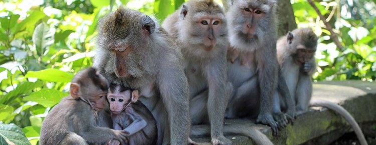 Monkey forest at Ubud, having good time with monkeys, in Ubud, Gianyar regency Bali - Indonesia - Mari Bali Tours