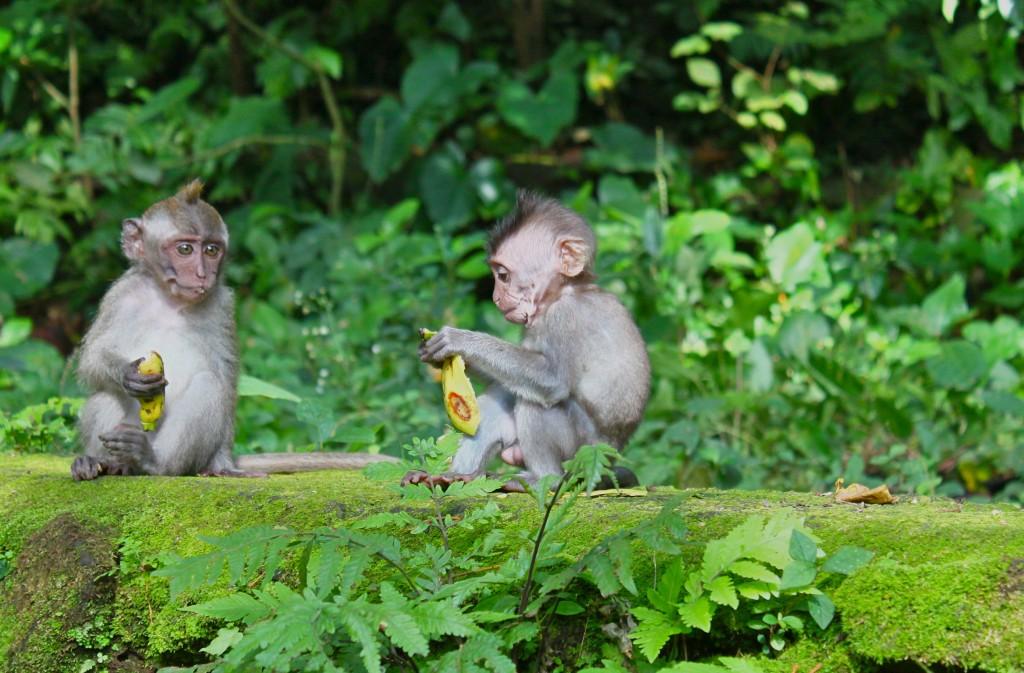 Monkey forest at Ubud, having good time with monkeys, in Ubud, Gianyar regency Bali - Indonesia - Mari Bali Tours