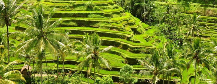 Rice Terrace at Tegalalang Village - Beautiful Stunning Rice Terrace - Mari Bali Tours