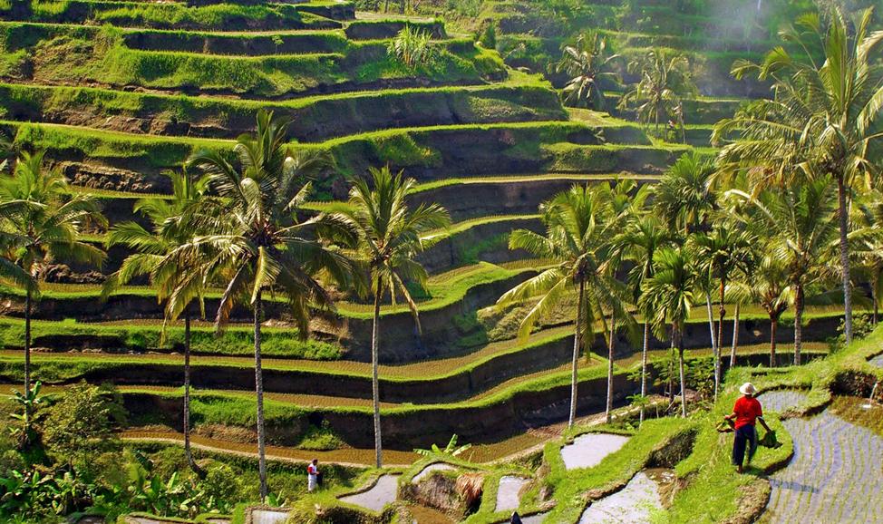 Rice Terrace at Tegalalang Village - Beautiful Stunning Rice Terrace - Mari Bali Tours