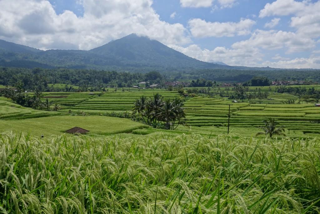 Fantastic Stunning view of hughest rice terrace in Jatiluwih village while cycling along, Tabanan regency - Bali island - Mari Bali Tours (10)