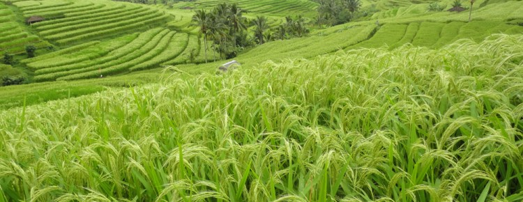 Fantastic Stunning view of hughest rice terrace in Jatiluwih village while cycling along, Tabanan regency - Bali island - Mari Bali Tours