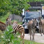 Bali Safari and Marine park in Gianyar, Bali - Mari Bali Tours (116)